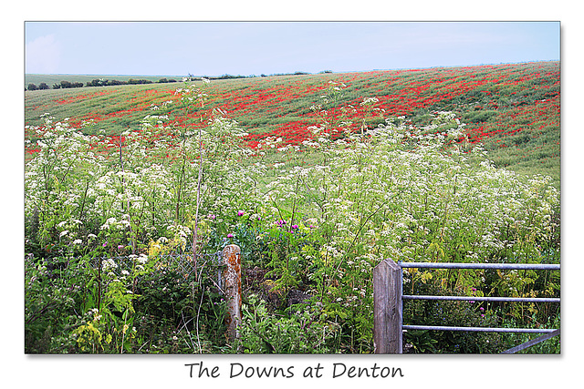 Cow parsley and Common Poppies near Denton - Sussex - 15.6.2015