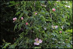 Rosa canina (1)