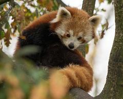 Red Panda (3)