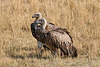 Ruppell's vulture (Explored)