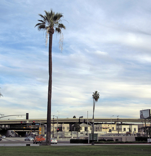 Oldest Palm Tree In Los Angeles (2670)