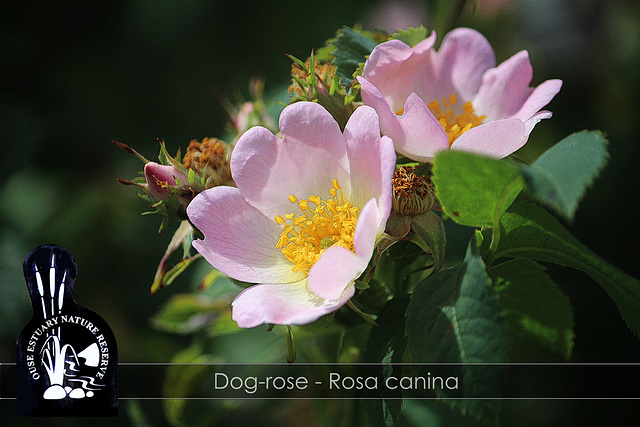 Dog-rose - Ouse Estuary Nature Reserve - Denton - Sussex - 15.6.2015