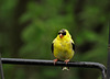 Goldfinch (Male0