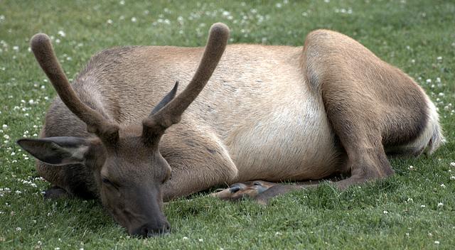 Male Elk in Yellowstone