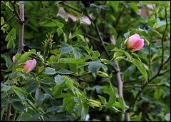 Rosa canina (2)