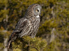 Great Gray Owl in late-morning sun