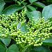 Elderberry buds