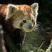 Red panda (4)