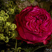 A red rose between green and white