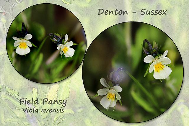 Field Pansy - Denton - Sussex - 15.6.2015