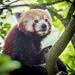 Red panda (5)