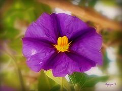 Solanum rantonnetii........!