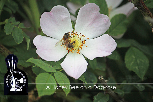Honey Bee on a Dog-rose- Ouse Estuary Nature Reserve - Denton - Sussex - 15.6.2015