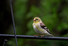 Goldfinch (Female)