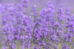Bouquet de Lavande IMGP0940