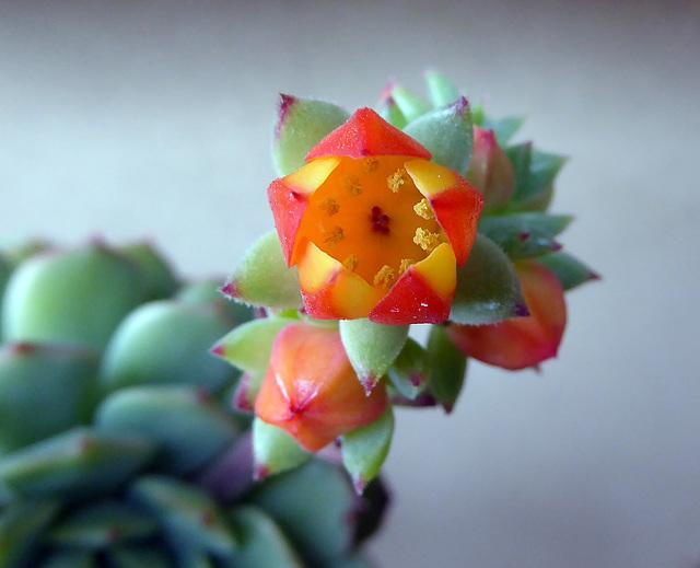 un fiore della mia echeveria