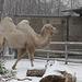 Kamel im Schnee (Wilhelma)