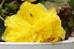 Blüte mit Besucher