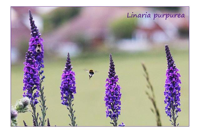 Linaria purpurea - Denton - Sussex - 15.6.2015
