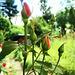 Rosen im Wachsen