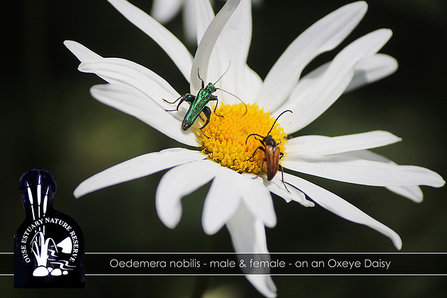 Oedemera nobilis- Ouse Estuary Nature Reserve - Denton - Sussex - 15.6.2015