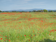 Memories of Tuscany: The Poppy fields of Tuscany
