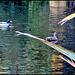 Ducks in Lake.