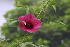 20201001-9080 Hibiscus cannabinus L.