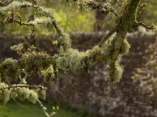 mossy apple trees in an old orchard