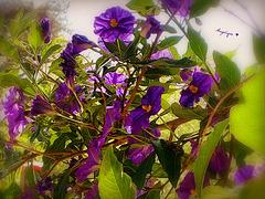 Solanum rantonettii.........HFF / Bon vendredi à tous !