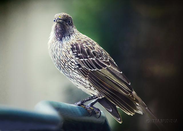 Visiting wattlebird