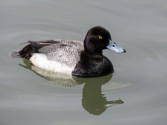 Lesser Scaup male / Aythya affinis