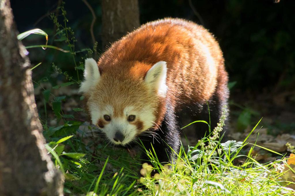 Red Panda.2jpg