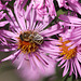 Astern und Biene - Aster and bee