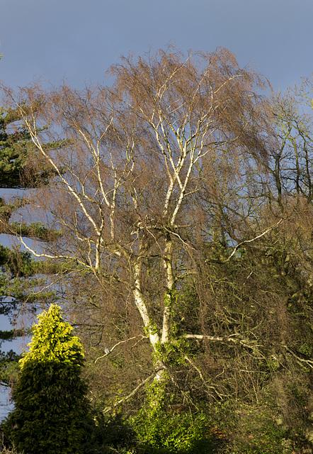 Whirlow birch