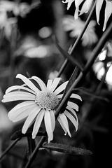 daisies b&w
