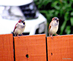 Two Male Sparrows.