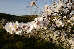 Penedos, Amendoeiras em flor