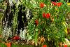 Poppies in a Garden