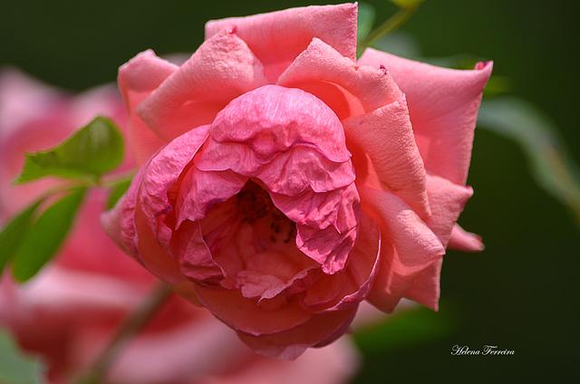 A rose pink for Pink October.
