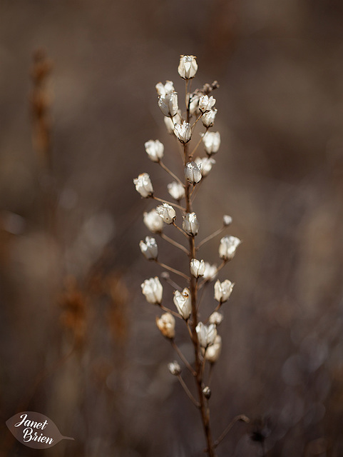 77/366: Twinkling Weeds