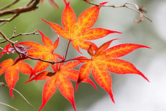 Japan - Kōyasan - Danjōgaran - Maple leafs