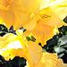 Golden Gladioli.