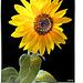 Sunflower in the evening sun. ©UdoSm