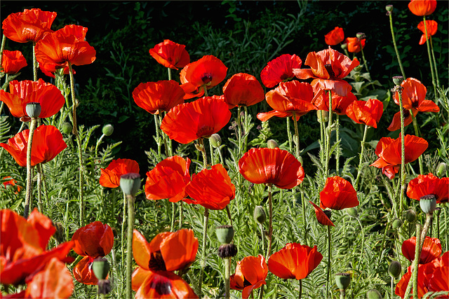 Der rote Mohn