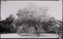 Ragle Ranch Oak