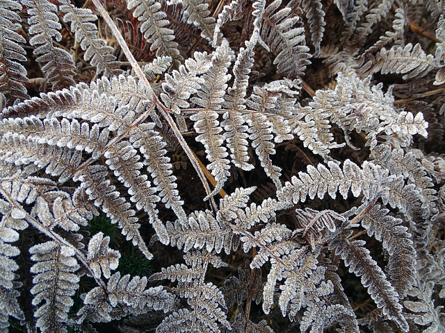 Frosty Ferns on The Cliffe