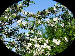 Les pommiers sont en fleurs !