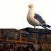 Seagull at sunrise.