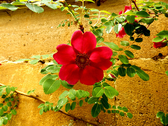 An old fashioned English rose.